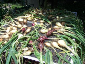 drying onions in the home garden