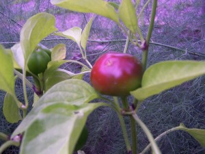 red hot cherry pepper
