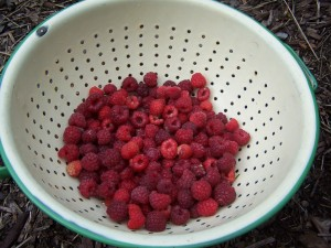 homegrown red raspberries