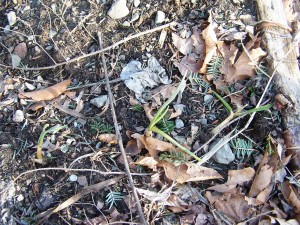 garlic in early spring