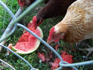 chickens love watermelon