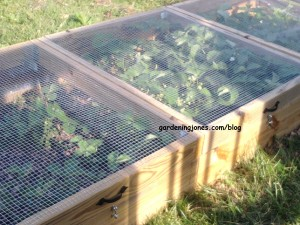 critter proof strawberry bed