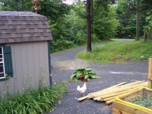 free range backyard chickens