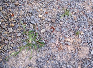 weeds in gravel
