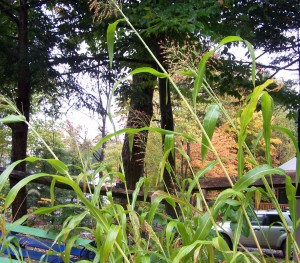 broomcorn in the home garden