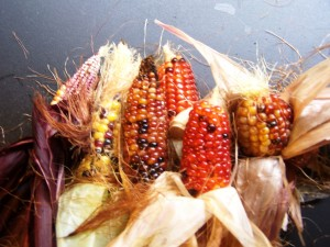 decorative or edible corn