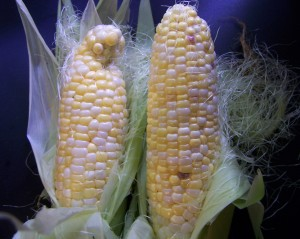 how to prevent cross pollination of corn