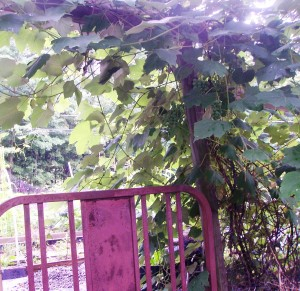 Concord Grapes at the garden gate.