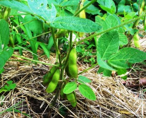 Homegrown soybeans.