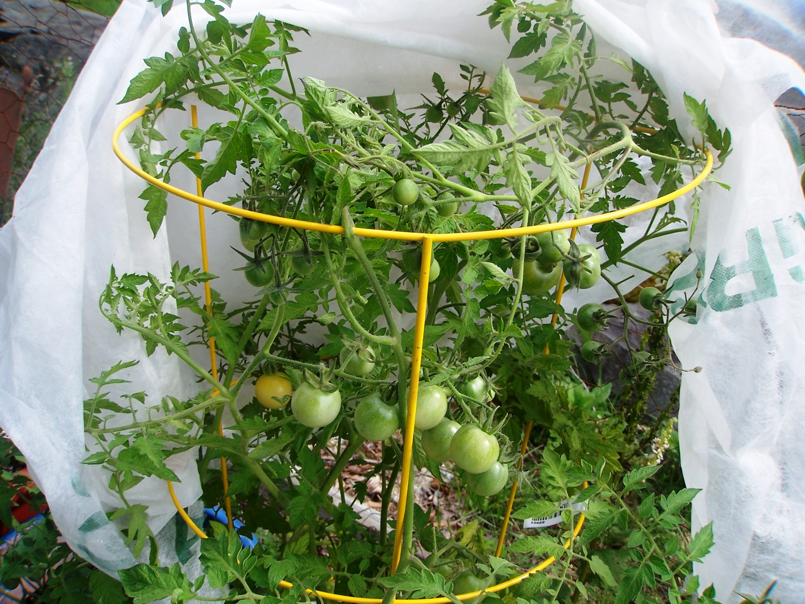 Growing cherry tomatoes in pots - More On The Way