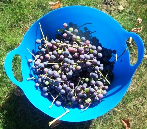 Bringing in some of the grapes.