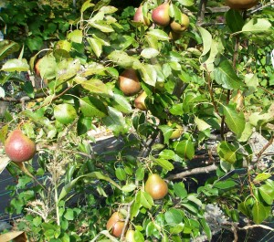 One tree, three kinds of pears.