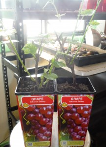 Two year old Reliance grape plants.