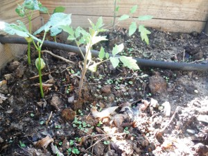 Intercropping basil and tomatoes.