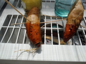 growing sweet potato slips