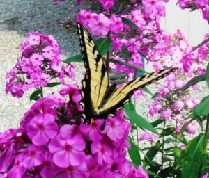 Gardening Jones shares the info you need to attract more butterflies to your garden.