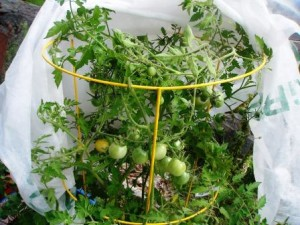 Gardening Jones shares some specific varieties of veggies that do well in containers.