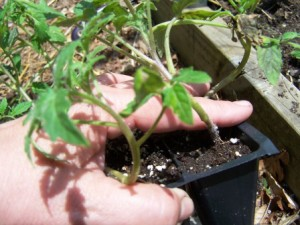 A few simple tips to help your transplants thrive.