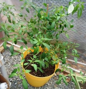 Gardening Jones shares her first experiences at growing a pepper as a perennial plant.