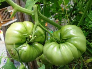 Gardening Jones share a few things you can do when the weight of your tomatoes is more than the plant can bear.