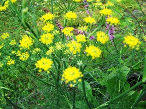 Dill is a favorite of some caterpillars.