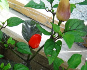 Chinese 5 Color Hot Pepper