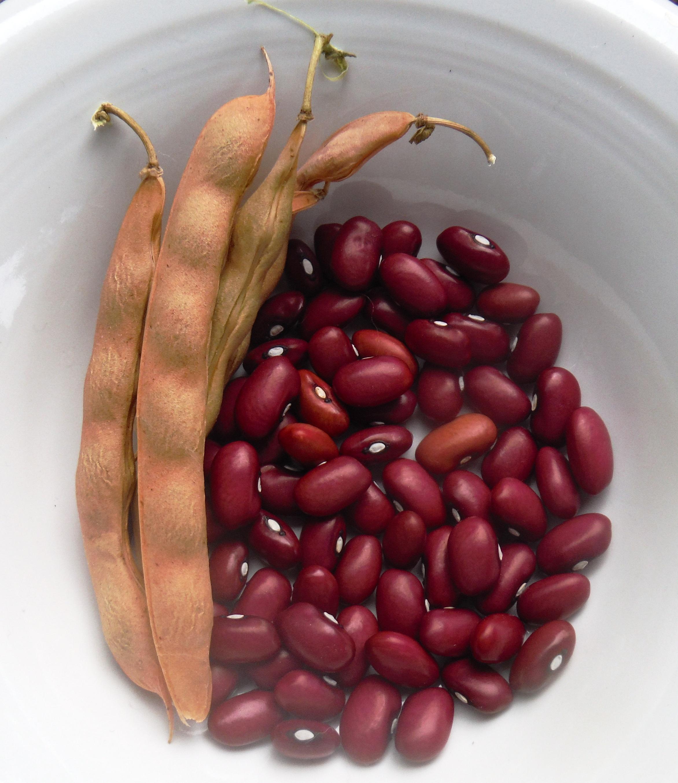 Hopi Red Dry Bean Gardening Jones