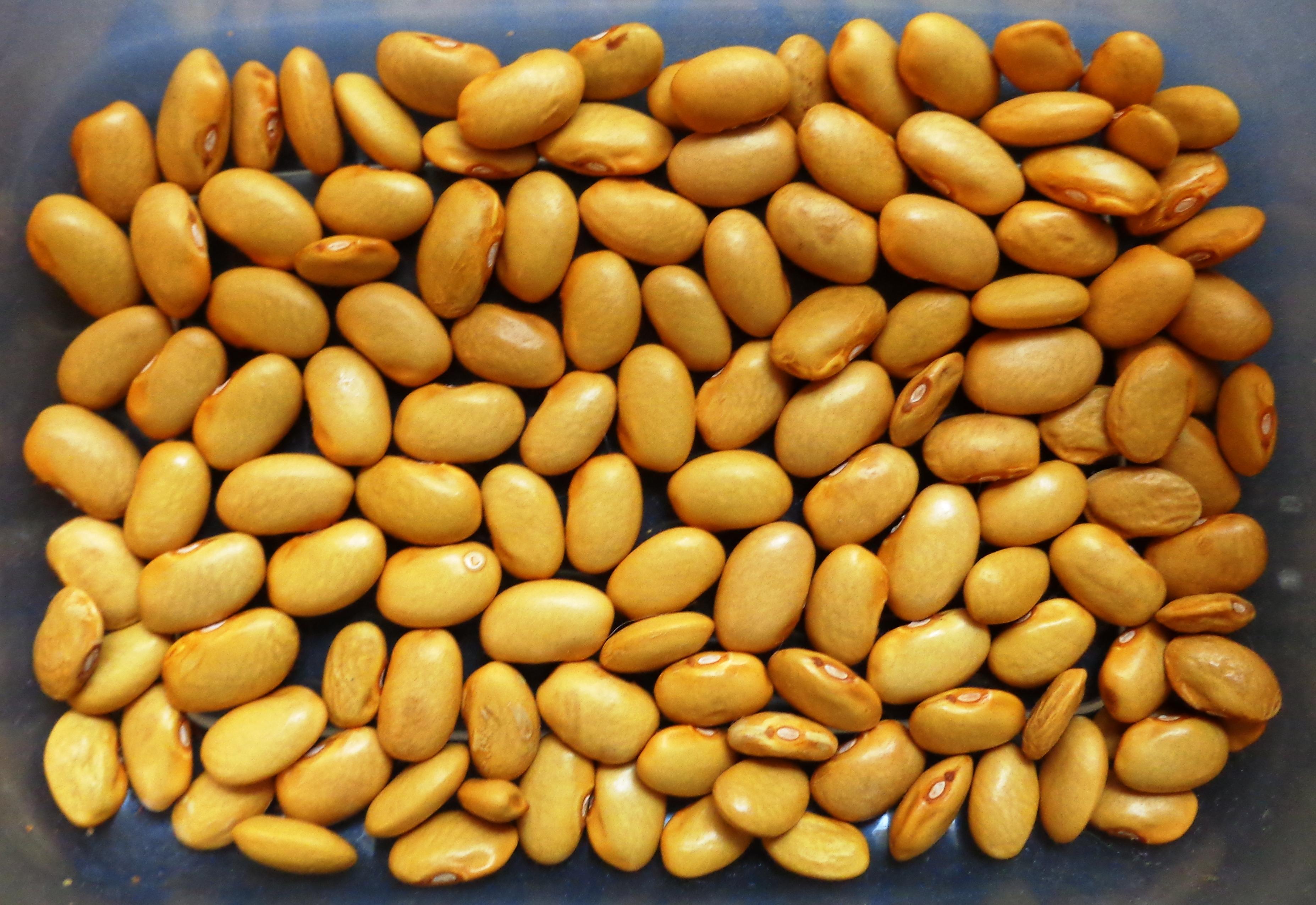 Quick Growing & Versatile, the Hopi Yellow Bean - Gardening Jones